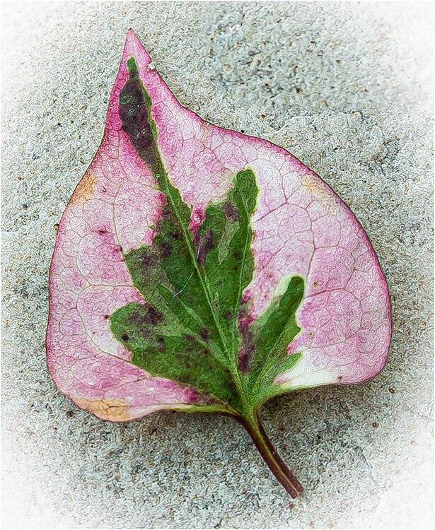 Photocraft Camera Club - Fallen Leaf by Barbara A