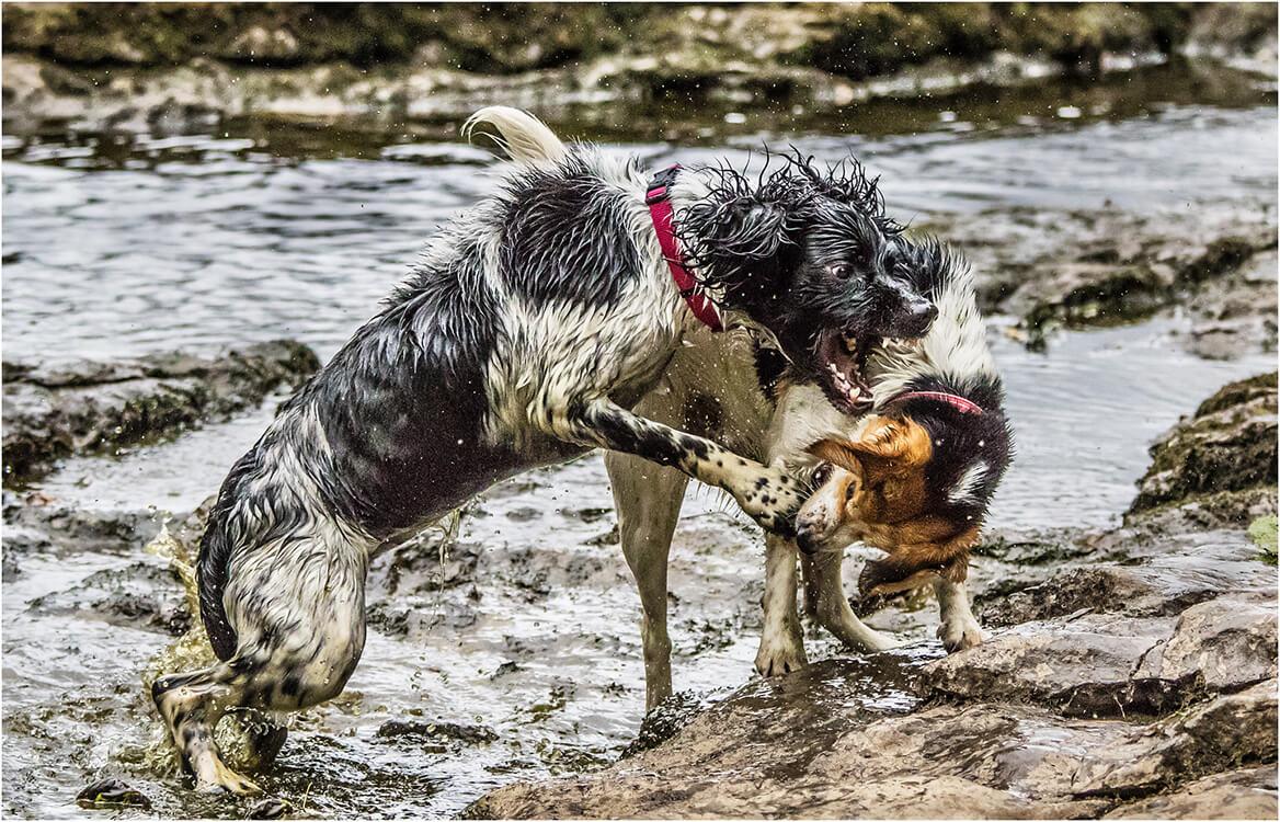 Photocraft Camera Club - Fighting dogs by Mandy B
