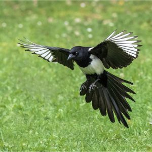 Photocraft Camera Club - Magpie coming in to land by Mandy B