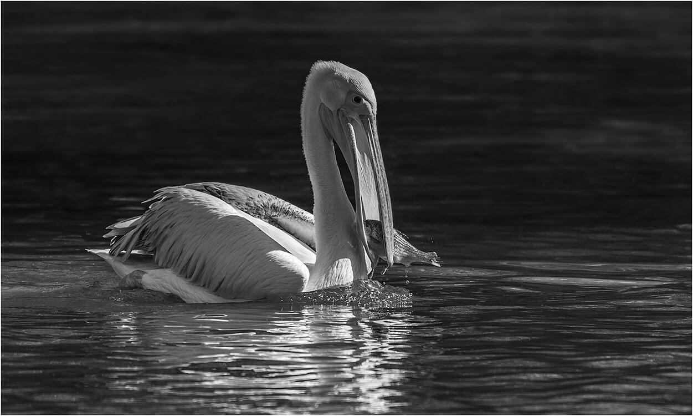 Photocraft Camera Club - Pelican by Roshan R