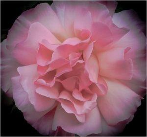 Photocraft Camera Club - Summer Rose by Barbara A