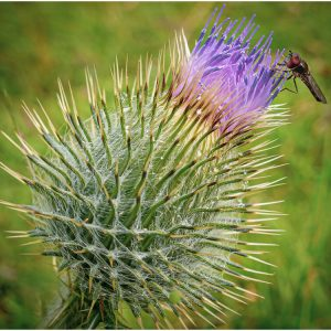 Photocraft Camera Club - Thistle Attraction by Barbara A